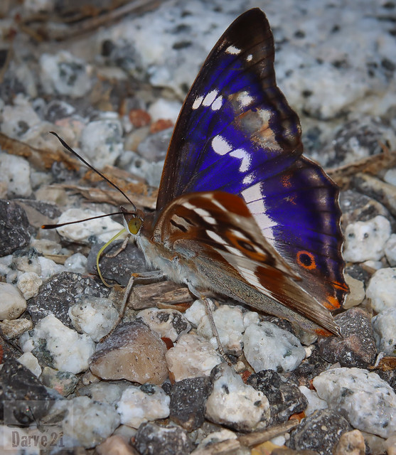 Purple Emperor - Apatura iris