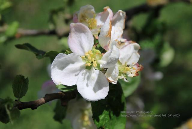 Ellwangen, apple