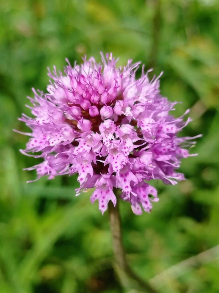 07.13.21.Orchis Globuleux