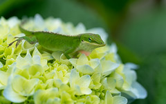 Anole on Hydrangea with red throat