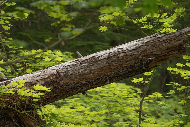 Fallen Amongst the Maples