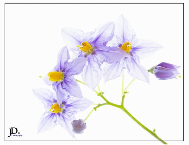 Blue potato - Lycianthes rantonnetii 3