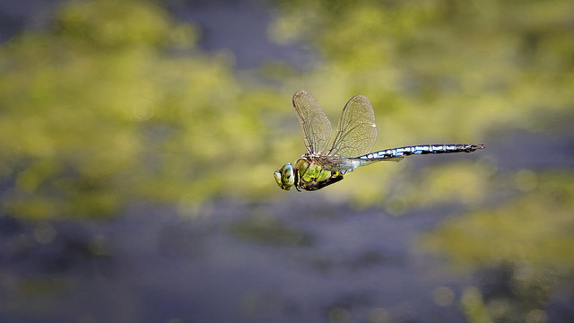 In Flight...Male Emperor Dragonfly - Anax imperator