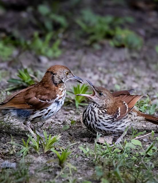 Brown Thrasher Feeding Young