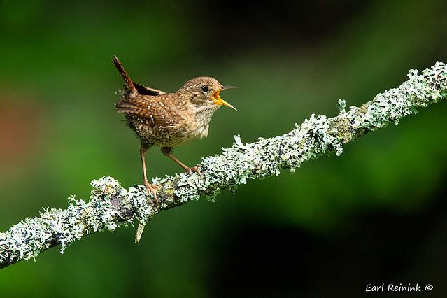 Small bird, big voice..
