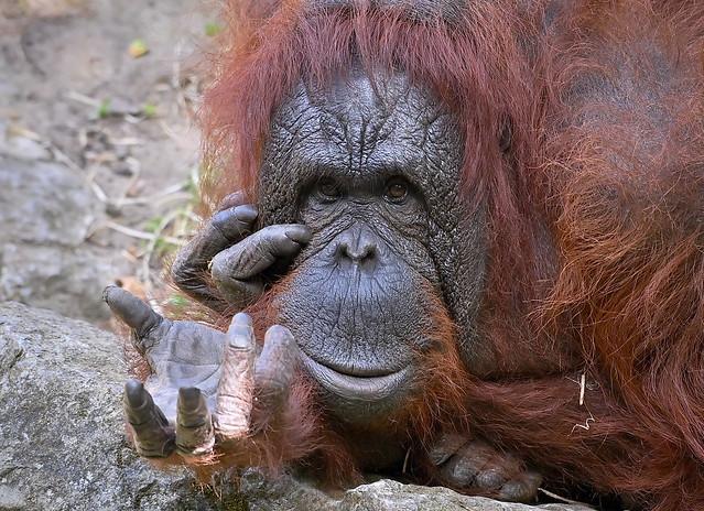 Borneo Orang-Utan