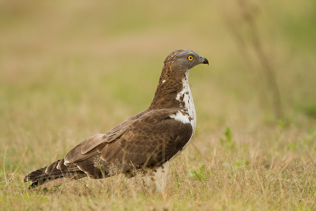 IMG_6845  falco pecchiaiolo (Pernis apivorus)