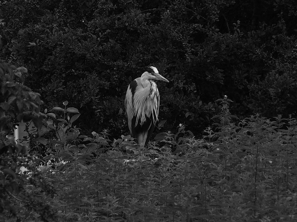 Grumpy Heron