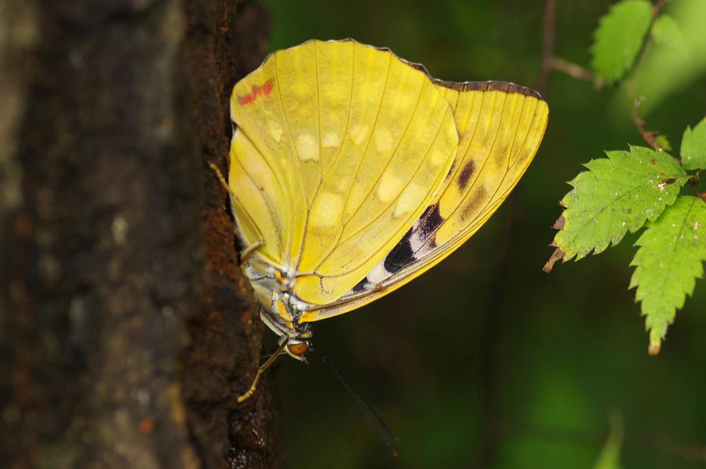 金色の蝶=オオムラサキ
