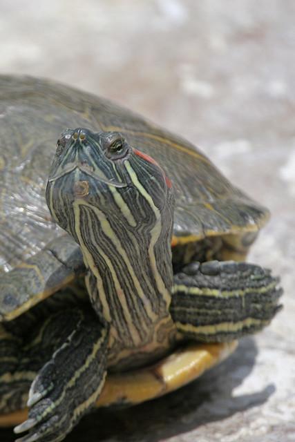 Turtle -35