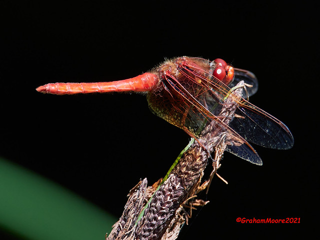Red Dragonfly At Lost Lagoon
