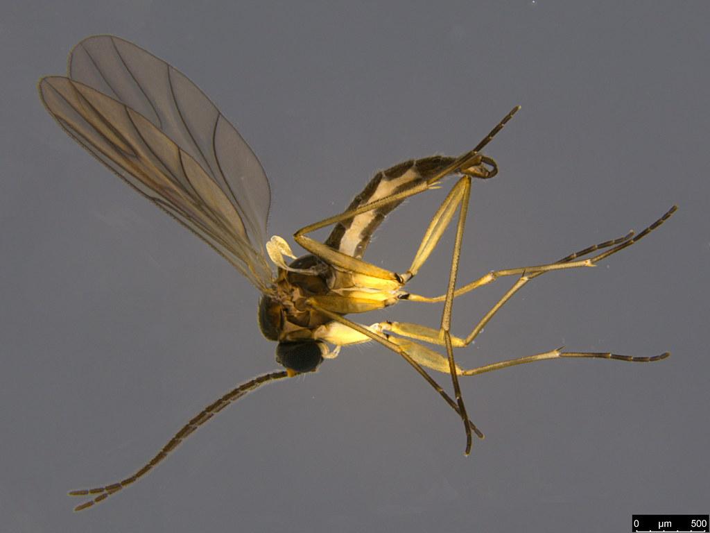 5a - Sciaroidea sp.