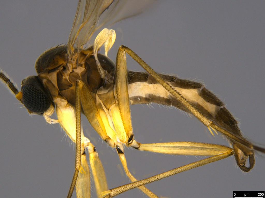 5b - Sciaroidea sp.