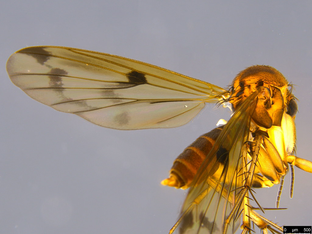 6d - Sciaroidea sp.
