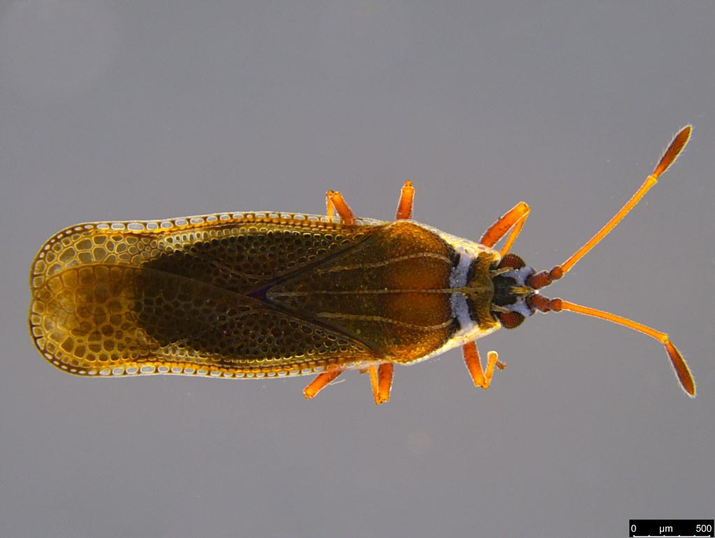 9a - Ulonemia sp.