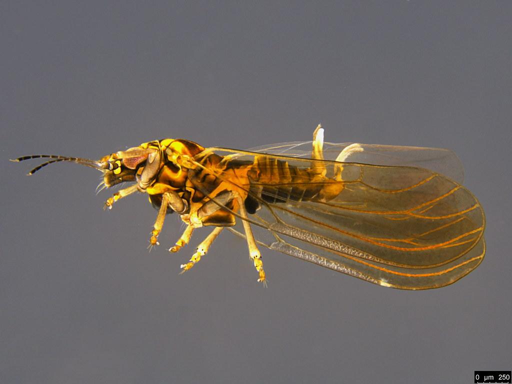 11b - Psylloidea sp.