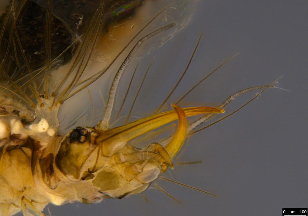 16c - Chrysopidae sp.