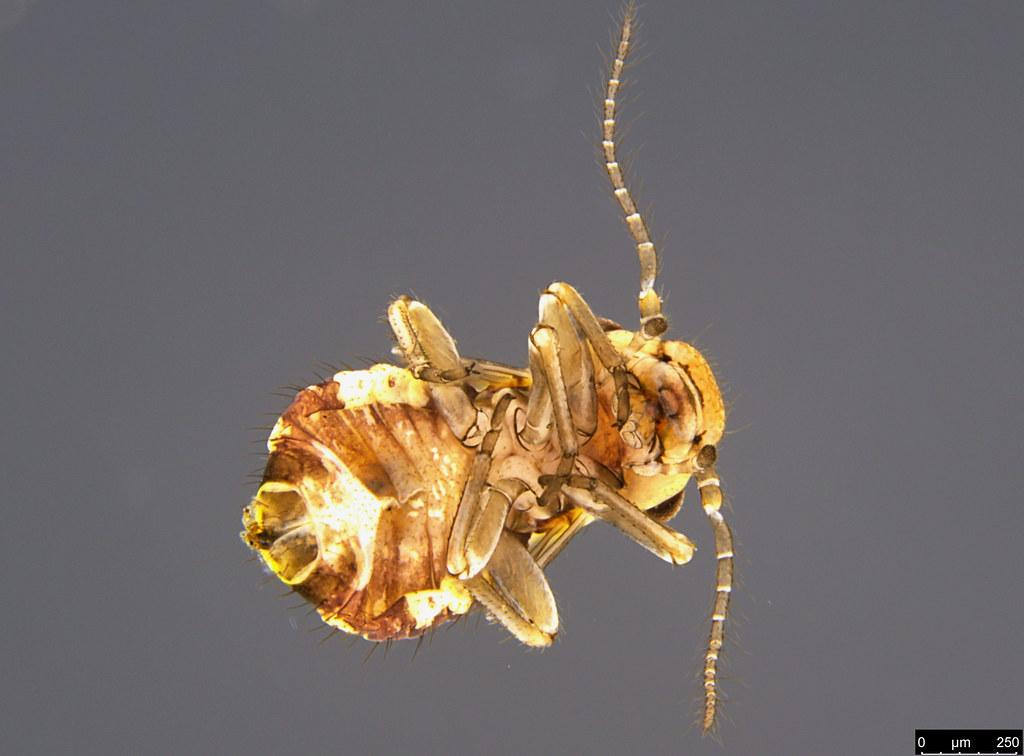 17c - Psocodea sp.