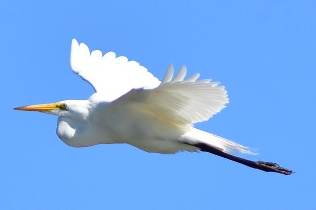 DSC_9406 Great Egret flyby @ Centerport