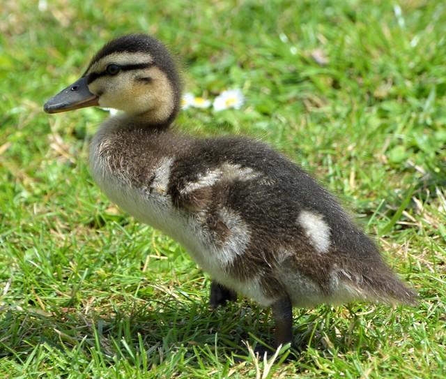 Baby Mallard Growing_0737