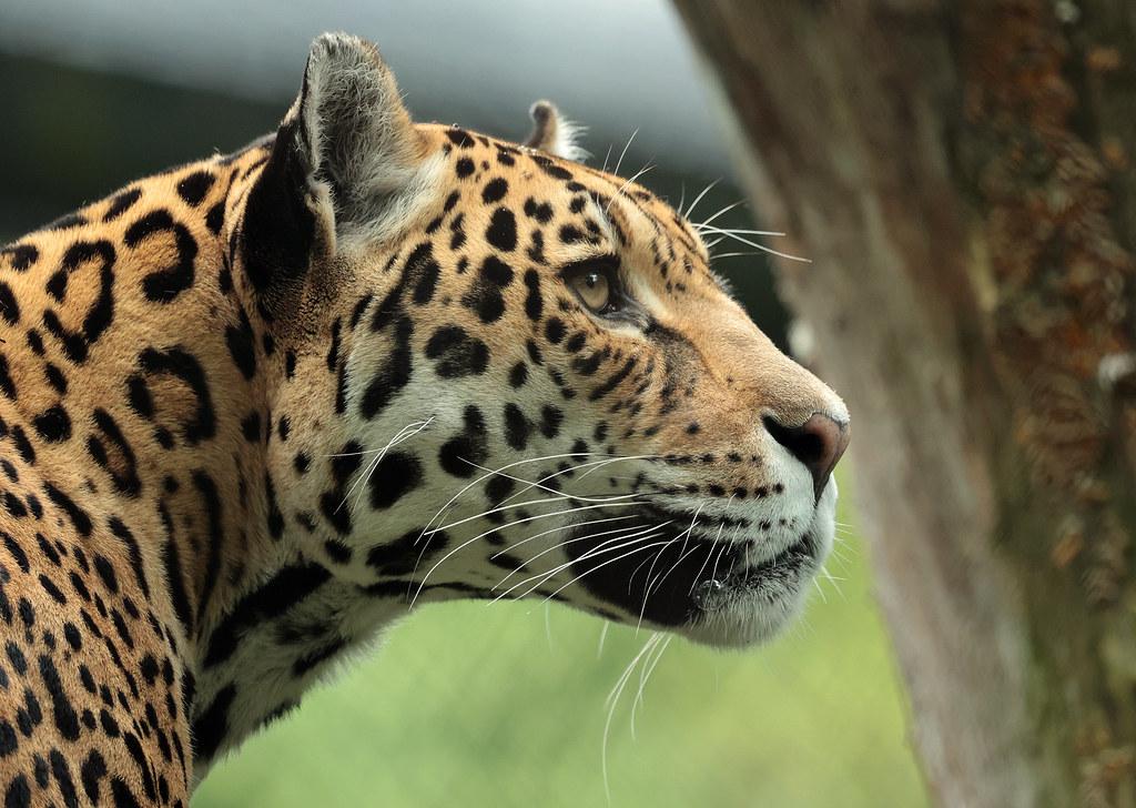 jaguar Rica Artis 9K2A8243