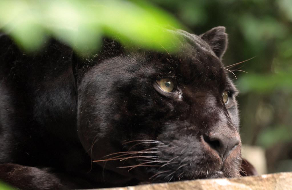 jaguar Mowgli Artis 9K2A8282