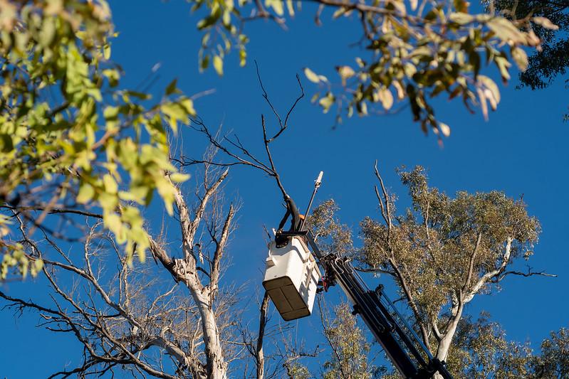 Tras 10 años, vuelve la poda en árboles de hasta 40 metros de altura (7)