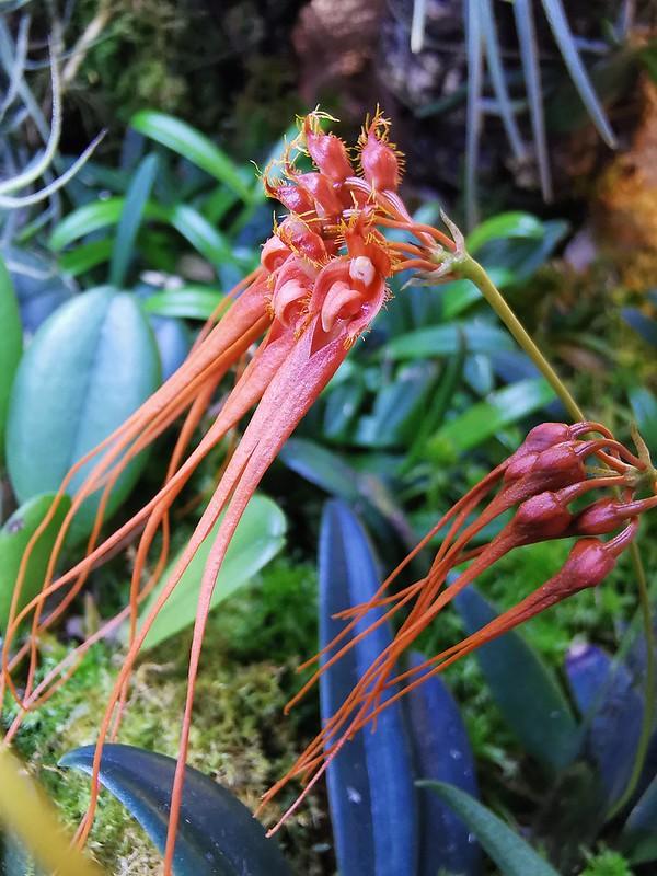 Bulbophyllum tingabarinum var apricot 51310431592_dbd83fb160_c