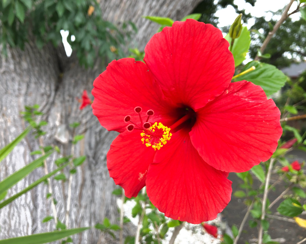 Neighbor's Hibiscus
