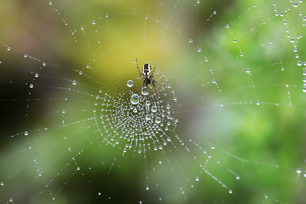 The Cricket Bat spider in a spiderweb galaxy of droplets