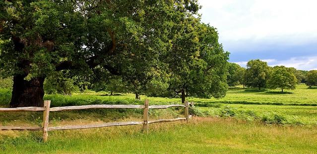English Oak Trees Aplenty