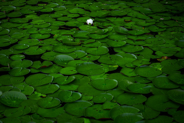 Lily pads on Grassy Pond