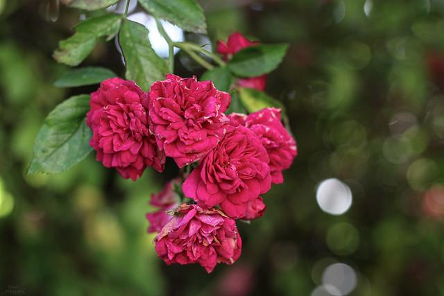 Roses of my garden 🌹
