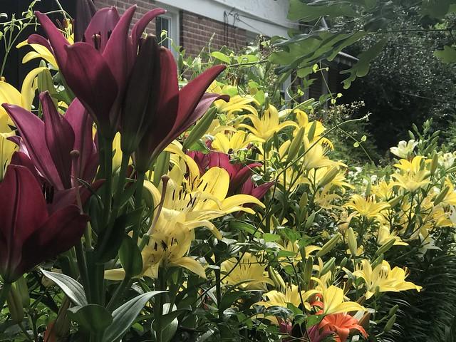 neighborhood lilies