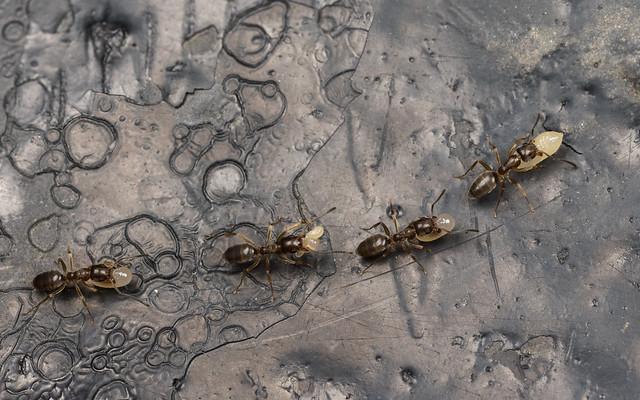 Stink Ants, Conservatory Garden, Central Park, NY