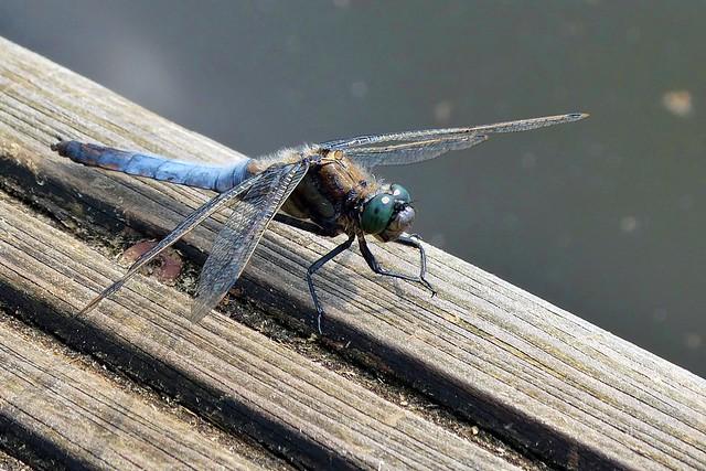 Blue beauty up close