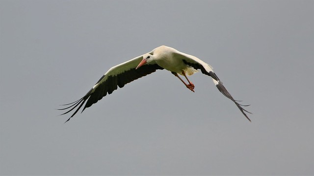 Storch- White Storks