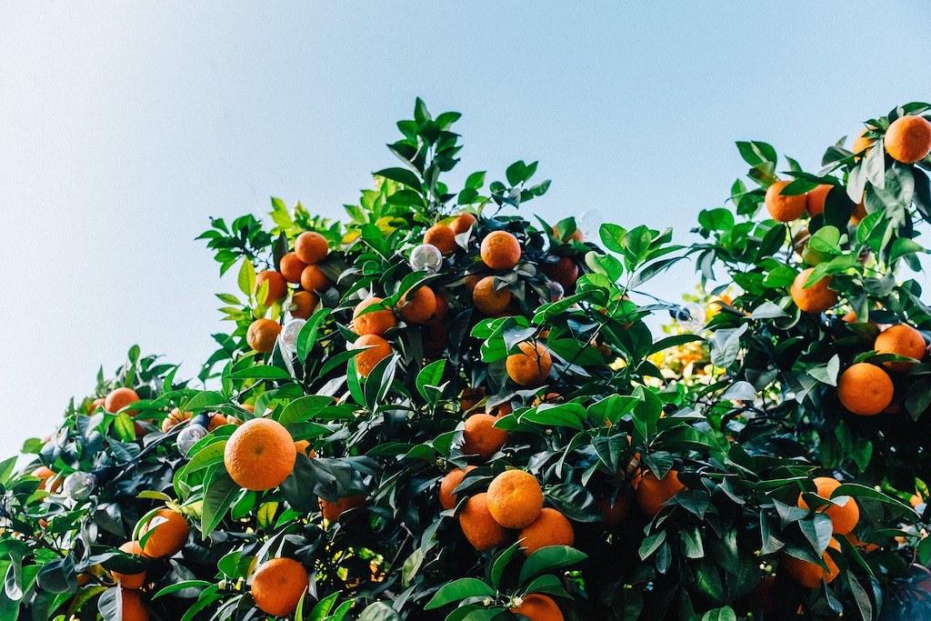 Korean fruit: tangerines on a tree