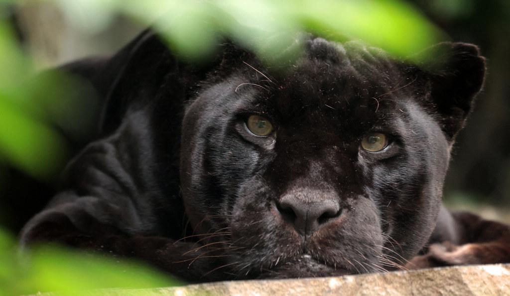 jaguar Mowgli Artis 9K2A8269