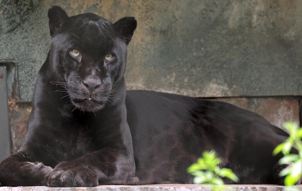 jaguar Mowgli Artis 9K2A8298