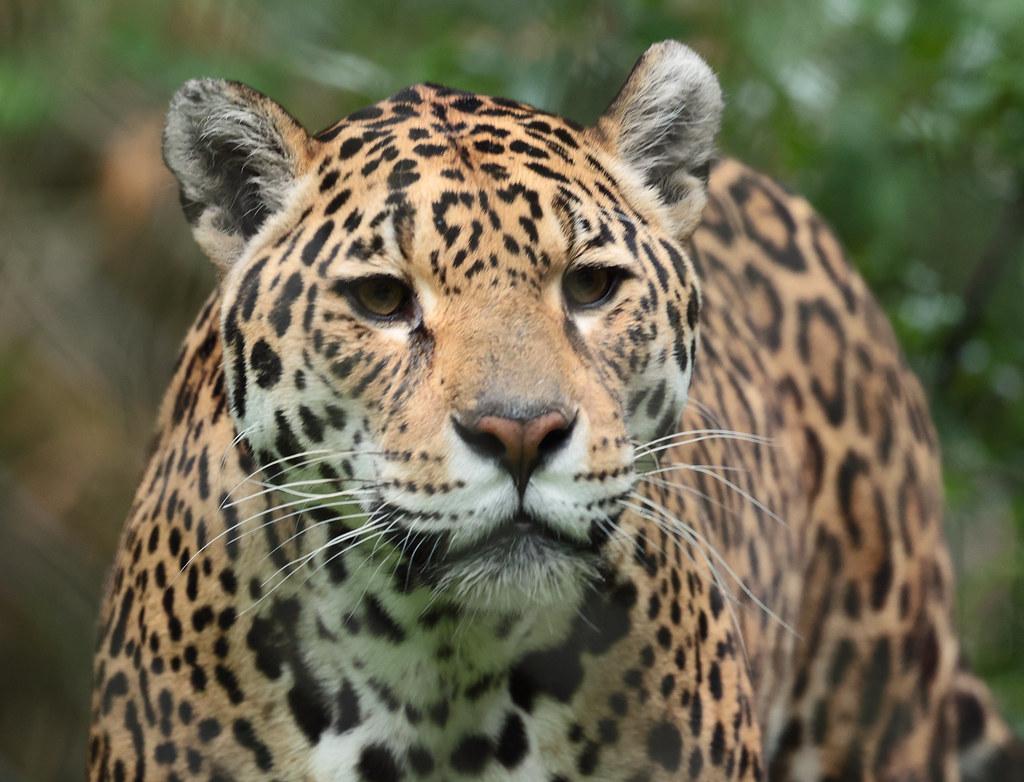 jaguar Rica Artis 9K2A7985