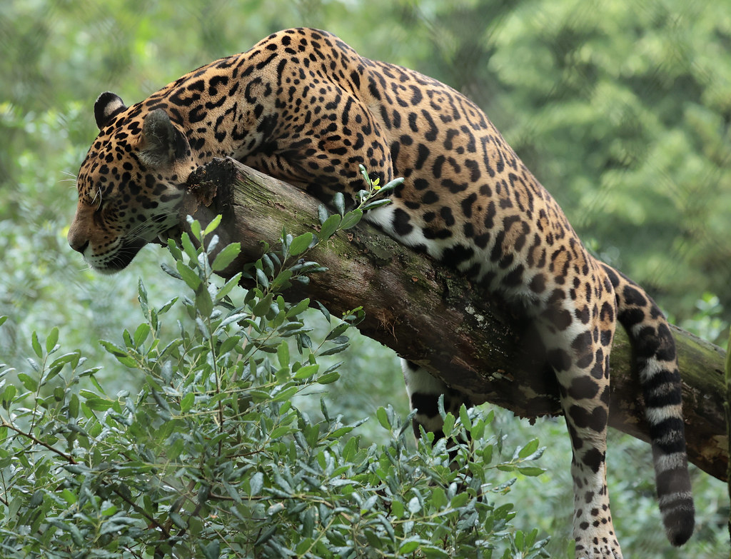 jaguar Rica Artis 9K2A8222