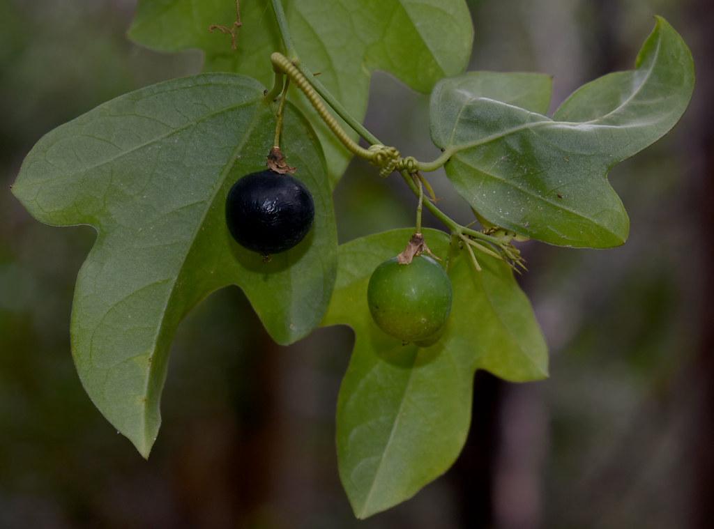 Passiflora suberosa, Port Douglas headland, QLD, 11/06/21
