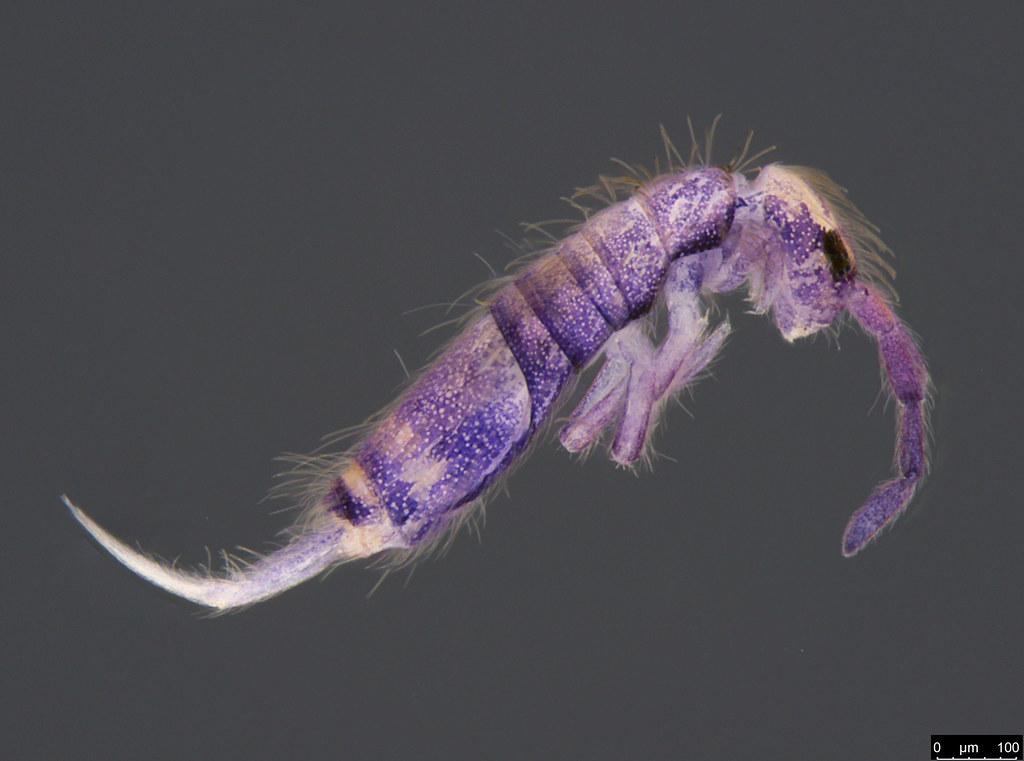 2b - Entomobrya sp.