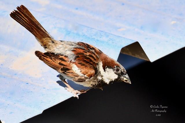 Gorrión común, (Passer domesticus).