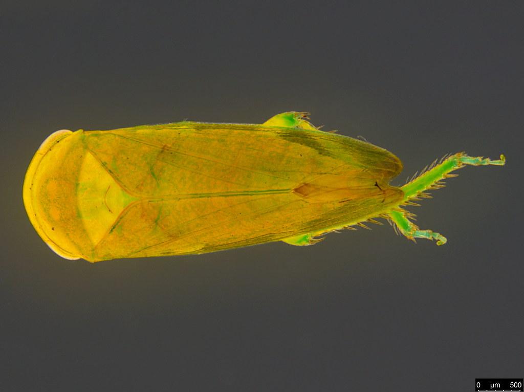 10b - Cicadellidae sp.