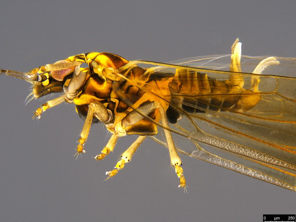 11c - Psylloidea sp.