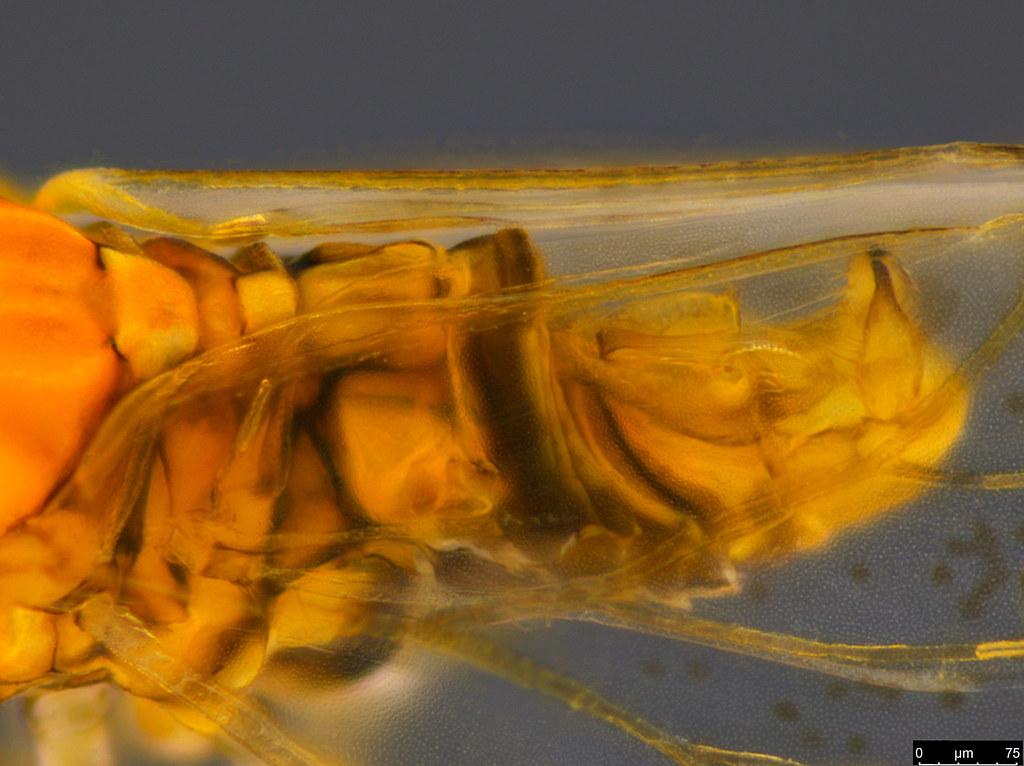 12b - Psylloidea sp.