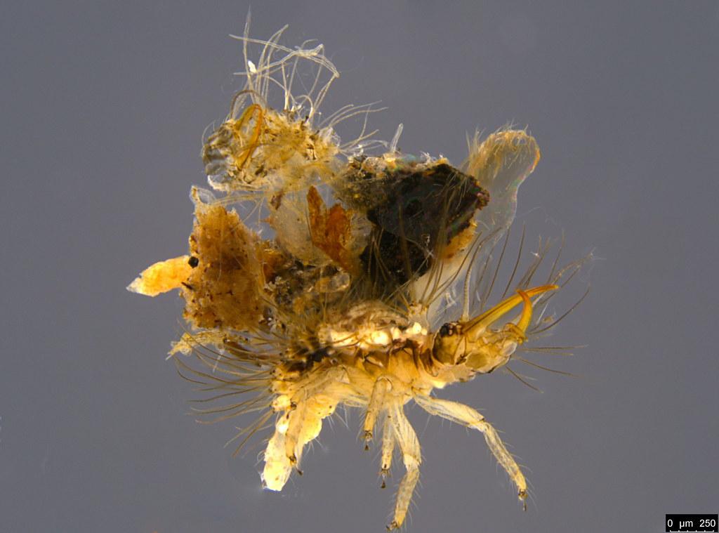 16b - Chrysopidae sp.