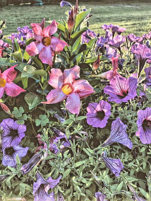 First Light on Backyard Flowers